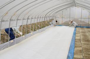 苗床作り 苗床をビニールハウスへ搬入、敷き詰めの写真素材 [FYI04051176]