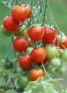 プチトマトの写真素材 [FYI04051609]