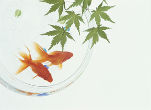 金魚と青楓の写真素材 [FYI04051774]