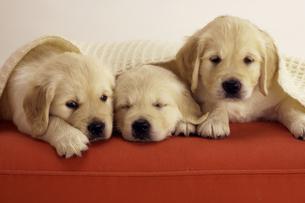 赤いソファの上の3匹のゴールデンレトリバーの子犬の写真素材 [FYI04051850]