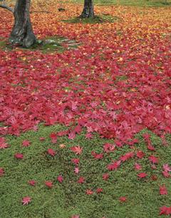 杉苔と紅い落ち葉のじゅうたんの写真素材 [FYI04051921]
