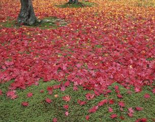 杉苔と紅い落ち葉のじゅうたんの写真素材 [FYI04051923]