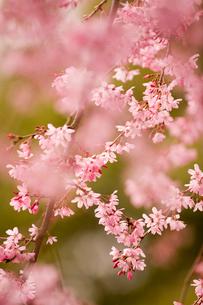 紅枝垂桜の写真素材 [FYI04051942]