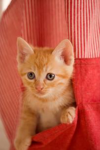 エプロンのポケットに入る猫の写真素材 [FYI04051972]