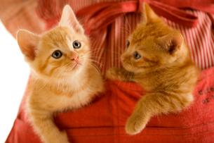 エプロンのポケットに入る2匹の猫の写真素材 [FYI04051974]