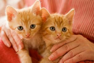 エプロンのポケットに入る2匹の猫の写真素材 [FYI04051976]