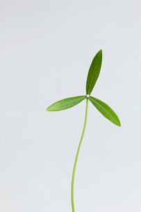 葉っぱの風車の写真素材 [FYI04052629]