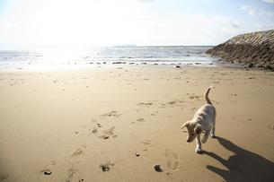 砂浜を歩く白い子犬の写真素材 [FYI04053444]