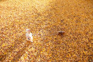銀杏のじゅうたんで遊ぶ女の子の写真素材 [FYI04053550]