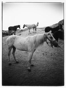 牧場の馬の群れ B/W トルコの写真素材 [FYI04058173]