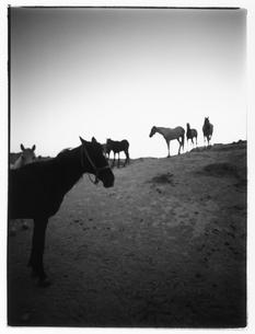 牧場の馬の群れ B/W トルコの写真素材 [FYI04058174]