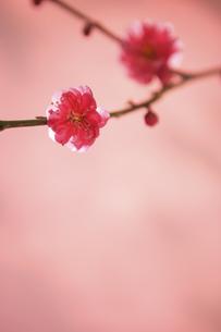 梅の花の写真素材 [FYI04058578]