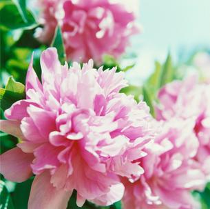 ピンクの花の写真素材 [FYI04058669]