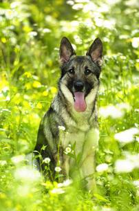 緑の中のシェパード犬の写真素材 [FYI04059736]