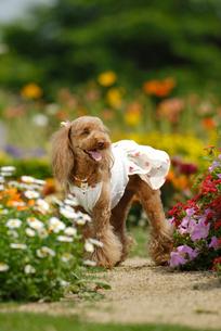 花とトイプードル犬の写真素材 [FYI04059739]