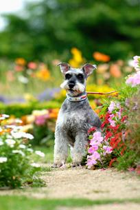 花とミニチュアシュナウザー犬の写真素材 [FYI04059744]