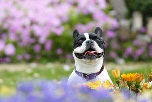 花の中のフレンチブルドッグ犬の写真素材 [FYI04059745]