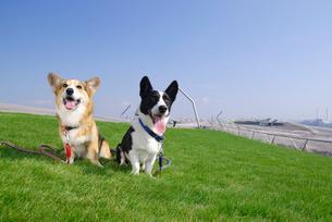 芝生の上に座るコーギー犬2匹の写真素材 [FYI04059780]