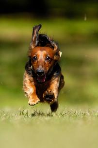 芝生を走るミニチュアダックス犬の写真素材 [FYI04059783]