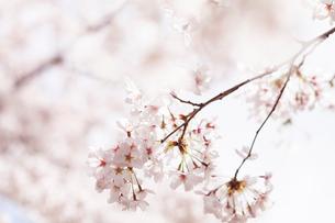 桜満開の写真素材 [FYI04059841]