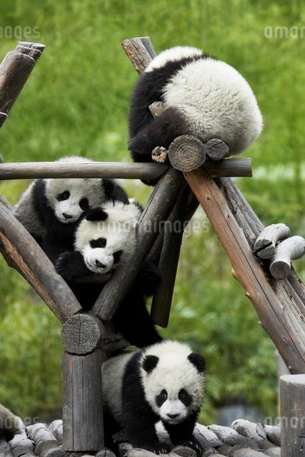パンダの写真素材 [FYI04059843]