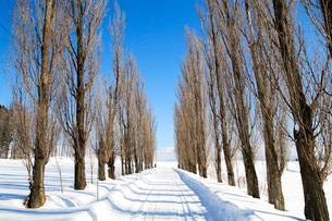 雪のポプラ並木道の写真素材 [FYI04060682]