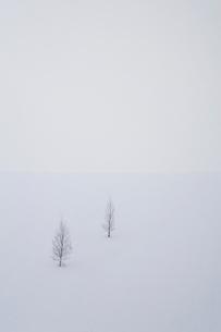 雪の丘に立つ2本の木の写真素材 [FYI04060692]