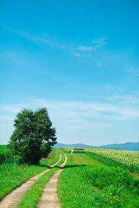 とうもろし畑と木と散策路の写真素材 [FYI04060712]