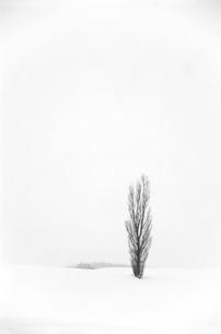 雪原とポプラの里仁の写真素材 [FYI04060747]