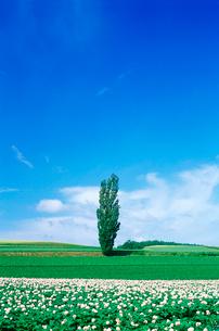 じゃがいも畑と一本の木の写真素材 [FYI04060764]