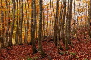 10月秋 世界遺産白神山地のブナ林の紅葉の写真素材 [FYI04060829]