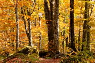 10月秋 世界遺産白神山地のブナ林の紅葉の写真素材 [FYI04060830]
