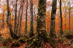 10月秋,世界遺産白神山地のブナ林の紅葉の写真素材 [FYI04060835]