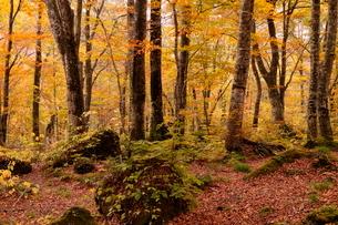 10月秋,世界遺産白神山地のブナ林の紅葉の写真素材 [FYI04060837]