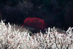 いなべ市農業公園 花咲く梅林公園の写真素材 [FYI04060892]
