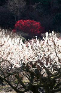 いなべ市農業公園 花咲く梅林公園の写真素材 [FYI04060893]