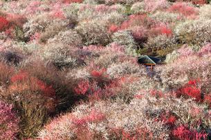 いなべ市農業公園 花咲く梅林公園の写真素材 [FYI04060895]