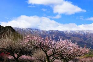 いなべ市農業公園 花咲く梅林公園と残雪の鈴鹿山脈の写真素材 [FYI04060896]