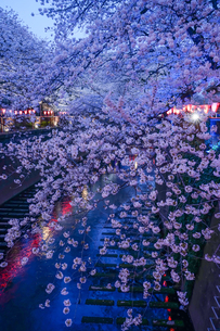 目黒川の桜のライトアップの写真素材 [FYI04061051]