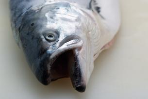 鮭の写真素材 [FYI04061169]