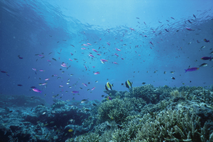 サンゴ礁を泳ぐ熱帯魚の写真素材 [FYI04061238]