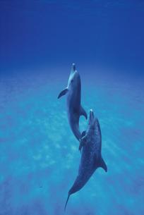 イルカの親子の写真素材 [FYI04061292]