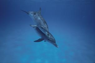 イルカの子供の写真素材 [FYI04061294]
