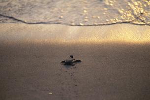 海に帰るカメの子供の写真素材 [FYI04061310]
