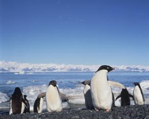 アデリーペンギンの写真素材 [FYI04061320]