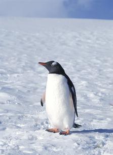 氷の上のペンギンの写真素材 [FYI04061324]