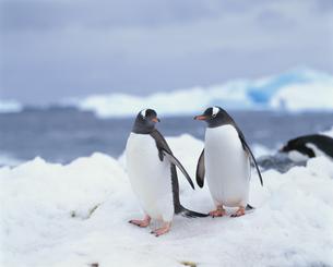 氷の上のペンギンの写真素材 [FYI04061334]