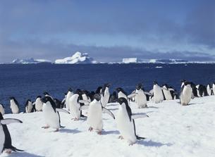 ペンギンの集団の写真素材 [FYI04061337]