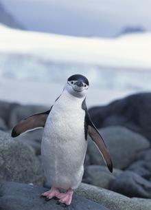 ヒゲペンギンの写真素材 [FYI04061341]