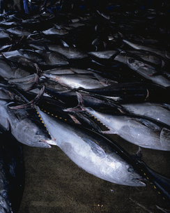 魚市場に並んだホンマグロの写真素材 [FYI04061356]